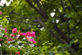 背景虚化的鲜艳美丽的杜鹃花