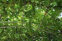 垂挂的丝瓜