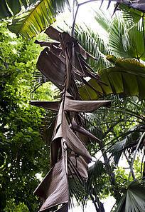 垂落枯萎的巨大芭蕉树叶子