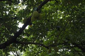 葱郁茂密的菠萝蜜树