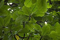 翠绿的长芒杜英与藏在叶子中的果实