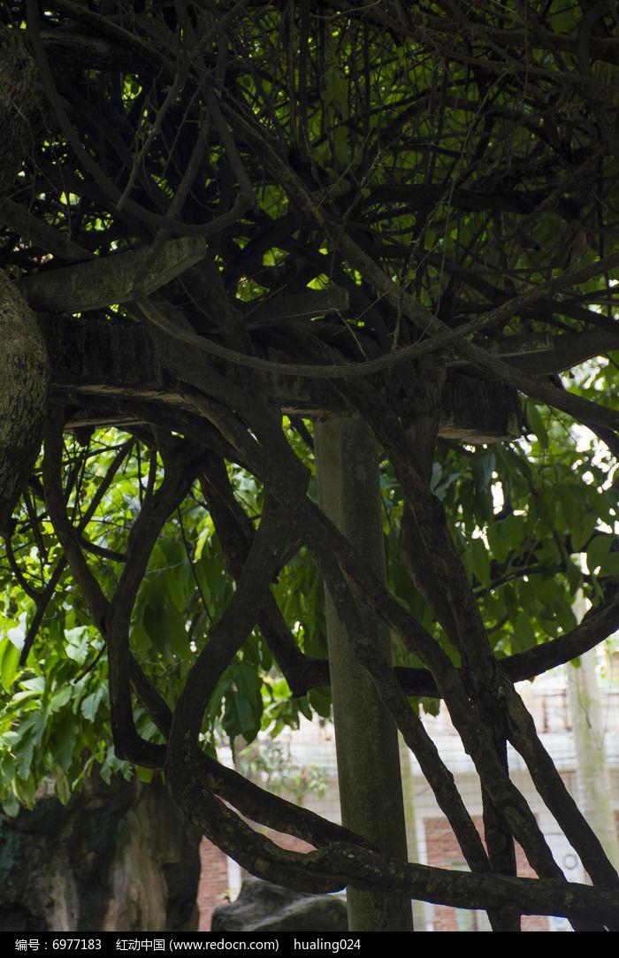 粗壮的蛇形藤蔓图片