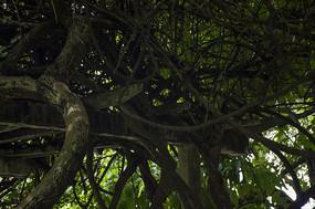 粗壮巨大的杜鹃藤蔓