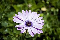 淡紫色的蓝目菊