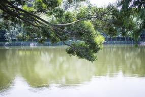 大树和清澈湖面