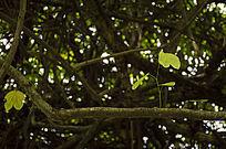干枯的藤蔓上长出的翠绿的叶子