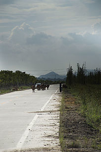 公路上牛群与汽车