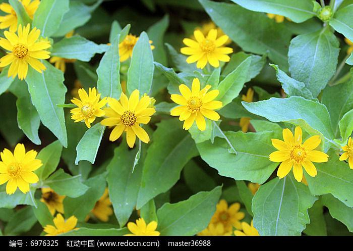 黄色小花朵图片