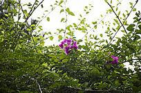 荆棘藤蔓中的紫色杜鹃花
