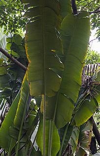 巨大翠绿的芭蕉树叶子