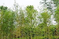 绿色的竹林风景图片