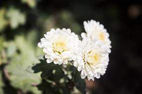 三朵白色的小菊花
