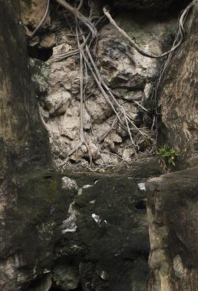山石间蜿蜒盘旋的植物根部