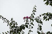 天空下紫色鲜艳的杜鹃花