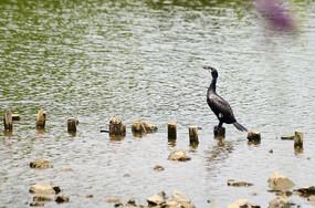 停在木桩上的鹭鸟图片