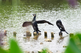 停在木桩上展翅的鹭鸟
