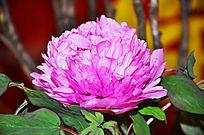 鲜艳茂盛的牡丹花