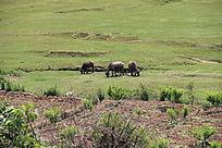 小溪边的三条水牛