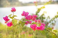 阳光下山崖上的野生杜鹃花