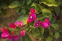 颜色鲜艳的野生杜鹃花