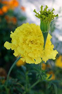 一朵杏黄色的万寿菊与花苞