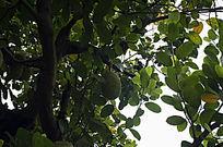 隐藏在翠绿的叶子中的菠萝蜜
