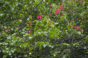 隐藏在荆棘中的鲜艳的杜鹃花