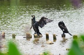 展翅欲飞的鹭鸟