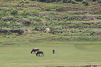正在吃草的三条水牛