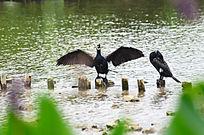 正在展翅的鹭鸟图片