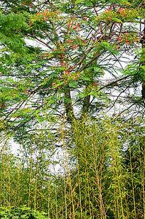 竹林凤凰花树木风景图片