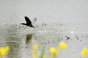 自由飞翔的鹭鸟图片