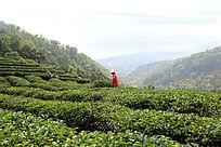 除草的茶农