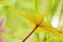 翠绿的蓖麻叶子