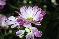 淡紫色的小菊花