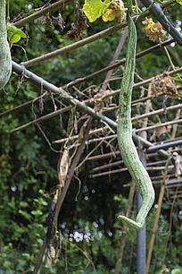 吊在棚架上的蛇形青瓜