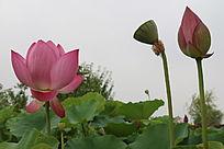 荷叶之上的盛开花蕾莲蓬