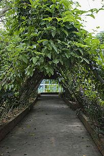 花卉种植基地的三角形藤蔓