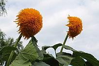 两朵重瓣的向日葵与叶子