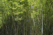茂密的竹林