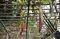 棚架上吊着的红色的长瓜