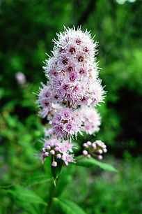 野生植物绣线菊