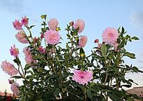 一簇粉色的大丽菊