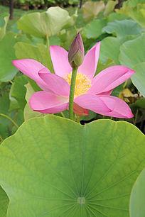 荷叶粉色花蕾与盛开的粉色花
