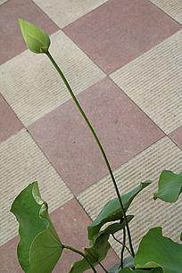 荷叶绿色花蕾