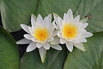 荷叶上两朵并列开放的睡莲