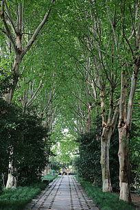 梧桐树树林