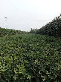 玉米地间一片绿油油的花生地