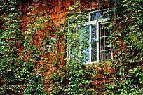 窗户绿色爬藤