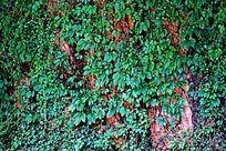 绿色爬藤墙